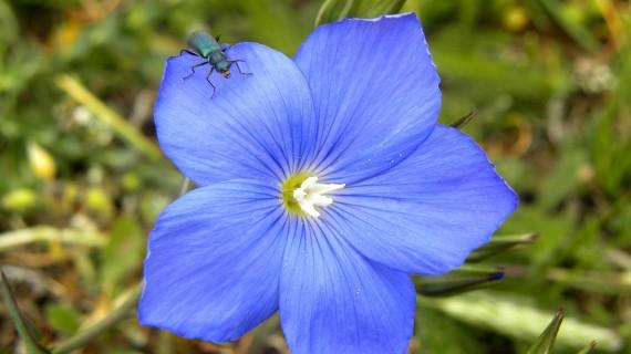 Linum narbonense (lino azul)